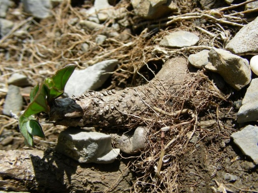 One of the species in the study, Borderea pyrenaica, grows in elevated, rocky areas of the Pyrenees and may reach 300 years without showing any negative effects of the old age. Photo: María Begoña González