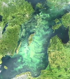 Cyanobacterial bloom in the Baltic Sea July 11, 2005. Satellite image from NASA' s Terra satellite, MODIS instrument.