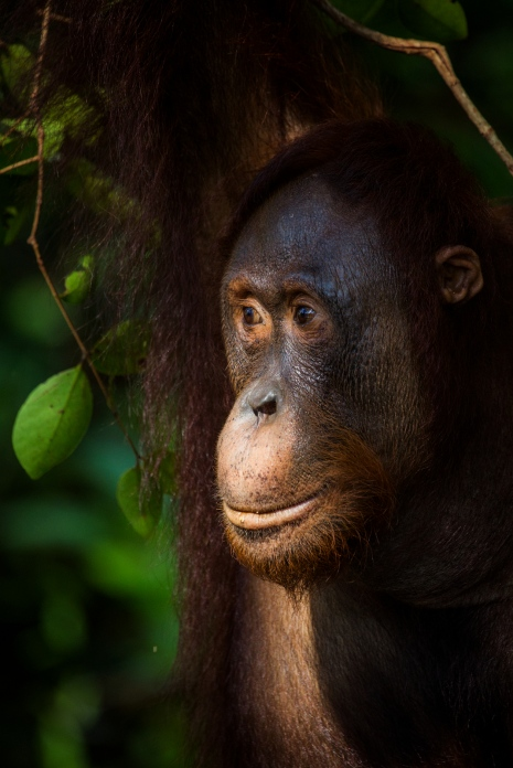 Orangutan. Photo: Johan Lind