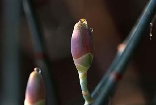 The reflecting pollination drop on the cones of Ephedra foeminea.
