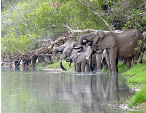 Elephants drinking water from the Ugalla River. The female in the foreground (with a hole in her ear) carried a GPS transmitter for two years. Photo: Elikana Kalumanga