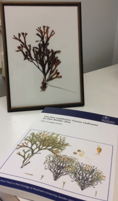 The PhD thesis together with a dried specimen of Fucus vesiculosus. Photo: Lena Kautsky.