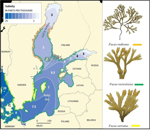There are three different Fucus species in the Baltic Sea with partly overlapping distribution. Fucus serratus is only found in the south, Fucus radicans is only found in the north, and Fucus vesiculosus is present along almost the entire coast.